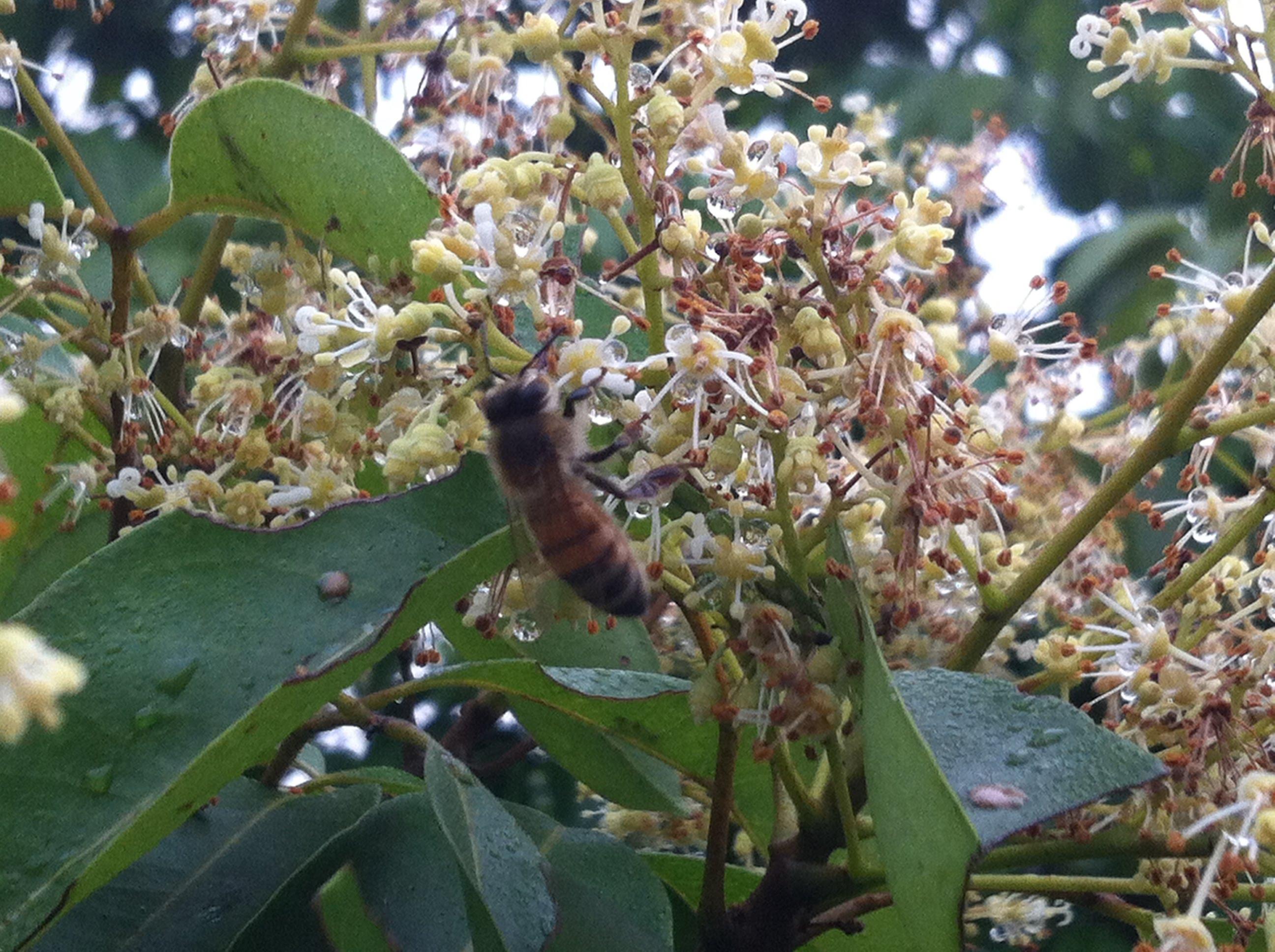 Mật ong hoa vải thiều | Mật ong hoa vải | Mật ong | Mật ong nguyên ...